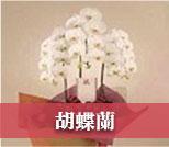 お祝い用の胡蝶蘭